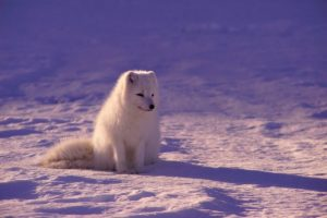 Artic Fox with winter coat